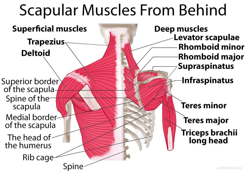 Scapula-shoulder-blade-muscles-behind