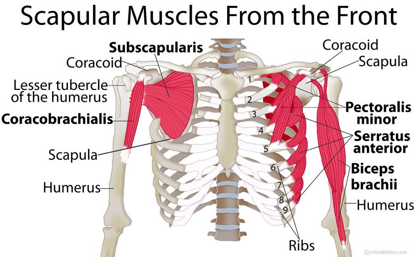 Scapula Shoulder Blade Muscles Front True Form Chiropractic